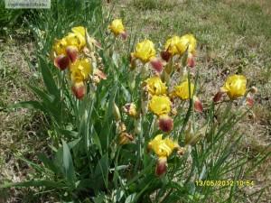 Iris galben - stanjenel