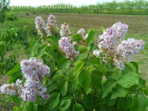 Syringa vulgaris - Liliac
