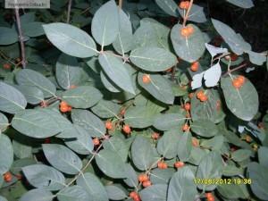 Fructe galbene-portocalii de caprifoi tatarasc