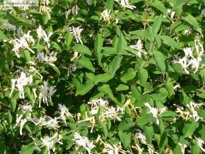Flori si frunze de lonicera tatarica (caprifloi tatarasc)