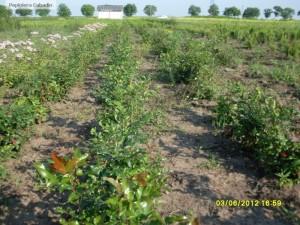 Mahonia aquifolium in pepiniera