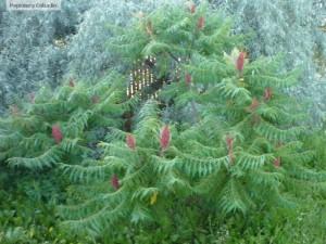 Otetar rosu - Rhus typhina
