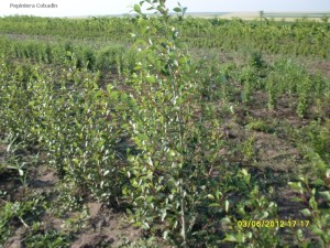 Plop chinezesc - Populus simonii in pepiniera