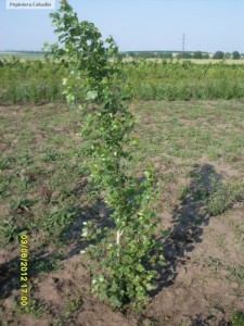 Plop negru - Populus nigra in pepiniera