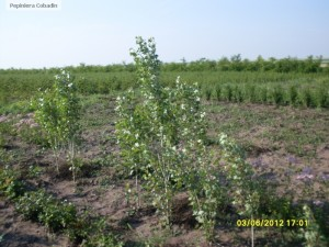 Populus nigra italica - Plop negru in pepiniera
