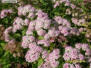 Spiraea bumalda cu flori