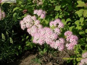Flori de spiraea bumalda