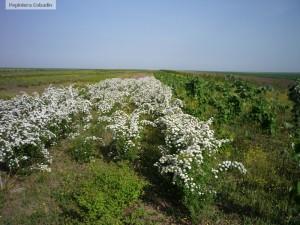 Floarea miresei, cununita - Spiraea vanhouttei