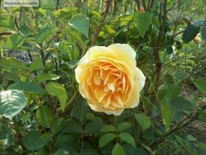 Trandafir in pepiniera