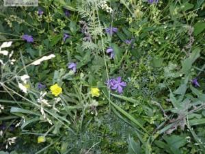 Vinca minor covor floral
