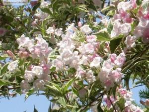 Weigela florida - flori