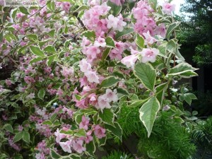 Weigela florida flori si frunze