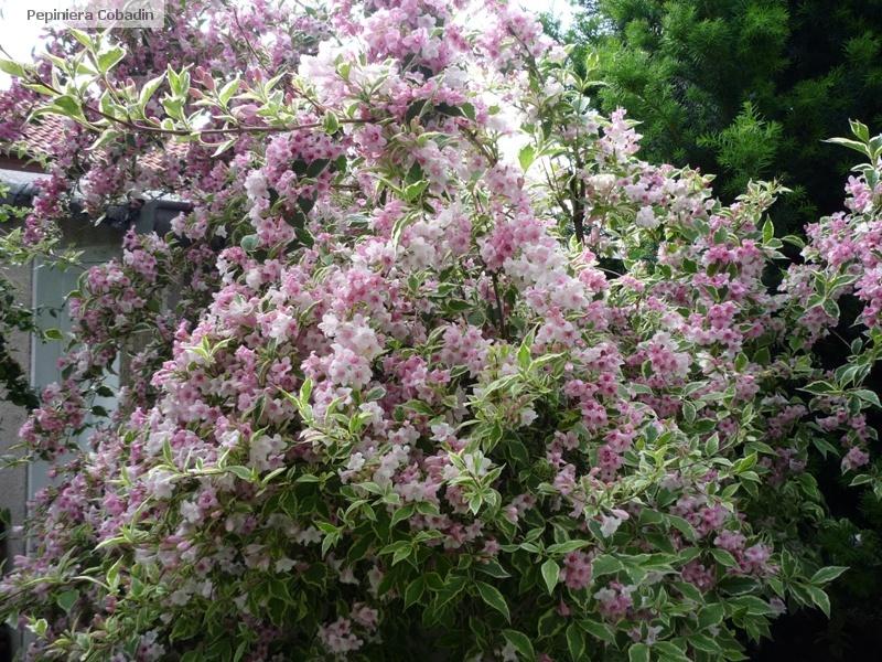 Arbusti ornamentali pepiniera cobadin constanta for Arbusti ornamentali