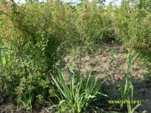 Yucca filamentosa - yuca