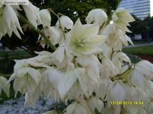 Yucca filamentosa - Iuca